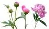 Flowerlifestages